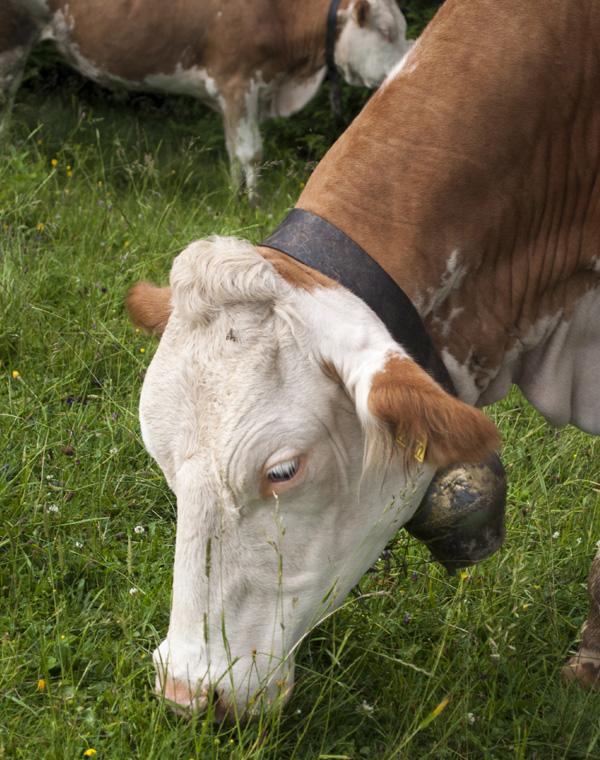 Criadores de gado iniciam a vacinação contra a febre aftosa