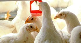 Cresce produção de frangos de corte em Minas.