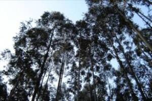 Legenda: Reflorestamento de eucalipto